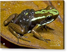 Poison Frog With Tadpoles Acrylic Print by Dante Fenolio