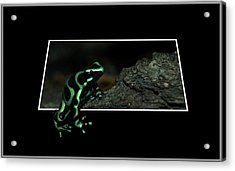 Poisonous Green Frog 02 Acrylic Print by Thomas Woolworth