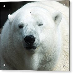 Acrylic Print featuring the photograph Polar Bear - 0001 by S and S Photo