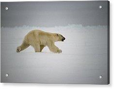 Polar Bear Runs Across Frozen Baffin Acrylic Print
