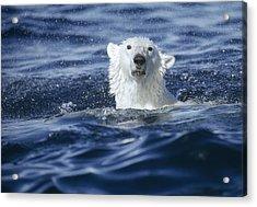Polar Bear Swimming Off  Baffin Island Acrylic Print