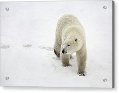 Polar Bear Walking Acrylic Print by Richard Wear