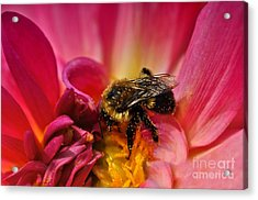 Pollen Covered  Acrylic Print