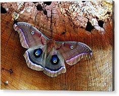 Polyphemus Moth Acrylic Print by Deborah Johnson
