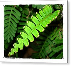 Acrylic Print featuring the photograph Polypody by Judi Bagwell