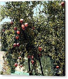 Pomegranate Tree Acrylic Print by Granger