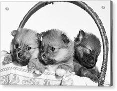 Pomeranian Acrylic Print by Everet Regal