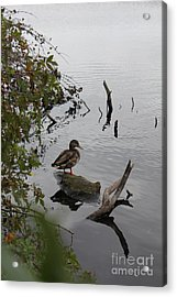 Pond-ering Acrylic Print by Scenesational Photos