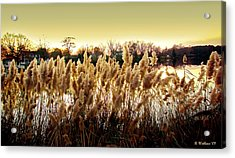Pond Grasses Acrylic Print by Brian Wallace