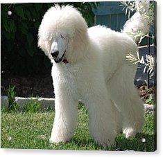 Poodle Bear Acrylic Print