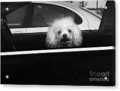 Poodle In A Car Acrylic Print by Susan Isakson