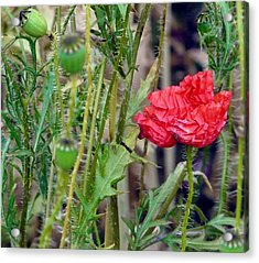 Popped Poppy Acrylic Print by Rdr Creative