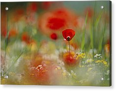 Poppies And Wildflowers In The Desert Acrylic Print by Annie Griffiths