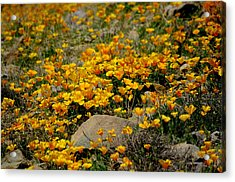 Poppies Everywhere Acrylic Print
