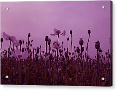 Poppies In France Acrylic Print by Jenny Potter