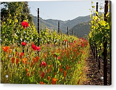 Poppies In The Vineyard Acrylic Print by Kent Sorensen