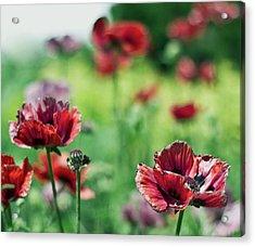 Poppies Acrylic Print by Olga Tremblay
