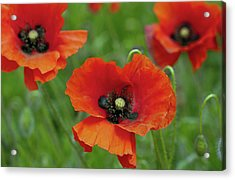Poppies Acrylic Print by Photo by Judepics