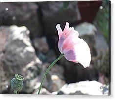 Poppy Acrylic Print by Amy Bradley