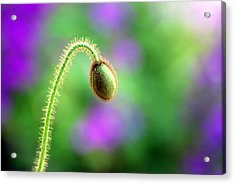 Acrylic Print featuring the photograph Poppy Bud by Linda Cox