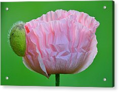 Acrylic Print featuring the photograph Poppy Emerges by Ronda Broatch