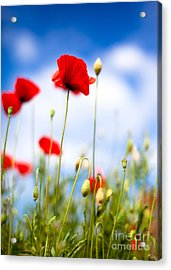 Poppy Flowers 12 Acrylic Print