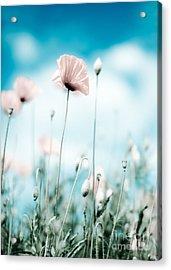 Poppy Flowers 13 Acrylic Print