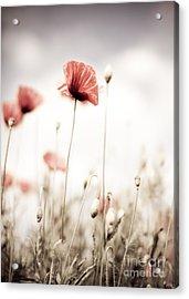 Poppy Flowers 15 Acrylic Print