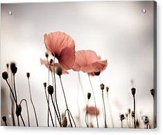 Poppy Flowers 16 Acrylic Print