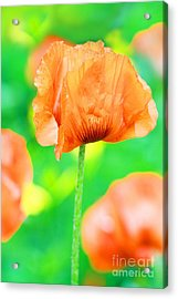 Poppy Flowers In May Acrylic Print by Anita Antonia Nowack