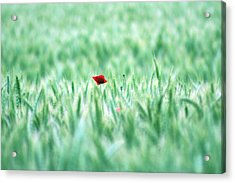 Poppy In Wheat Field Acrylic Print