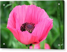 Acrylic Print featuring the photograph Poppy by Kathy Gibbons