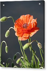 Acrylic Print featuring the photograph Poppy by Rebecca Overton