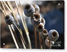 Poppy Seed Pods  2 Acrylic Print by Tanya  Searcy