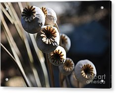 Poppy Seed Pods Acrylic Print by Tanya  Searcy