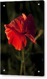 Poppy Acrylic Print by Svetlana Sewell