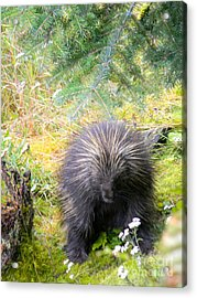 Porcupine Acrylic Print by Derek Swift