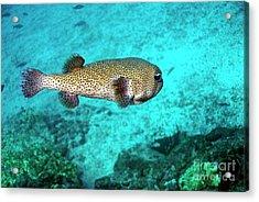 Porcupine Fish Acrylic Print by Sami Sarkis