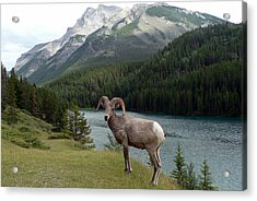 Portrait Of A Bighorn Sheep At Lake Minnewanka  Acrylic Print