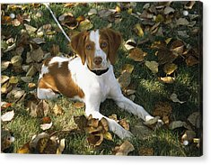 Portrait Of A Brittany Spaniel Puppy Acrylic Print by Paul Damien