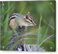 Acrylic Print featuring the photograph Portrait Of A Chipmunk by Penny Meyers