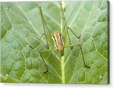 Portrait Of A  Cricket  Acrylic Print by Cliff Norton