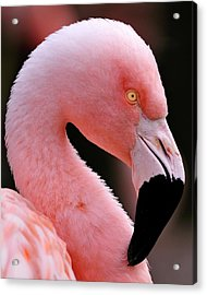 Portrait Of A Flamingo Acrylic Print
