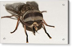 Portrait Of A Fly Acrylic Print