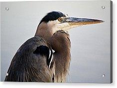 Portrait Of A Great Blue Heron Acrylic Print by Paulette Thomas