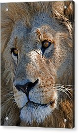 Portrait Of A Male African Lion Acrylic Print by Beverly Joubert