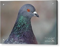 Portrait Of A Pigeon . 7d12327 Acrylic Print by Wingsdomain Art and Photography