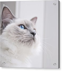 Portrait Of A Ragdoll Cat Acrylic Print