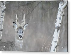 Portrait Of A Roe Buck Acrylic Print by Ulrich Kunst And Bettina Scheidulin