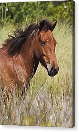 Portrait Of A Spanish Mustang Acrylic Print